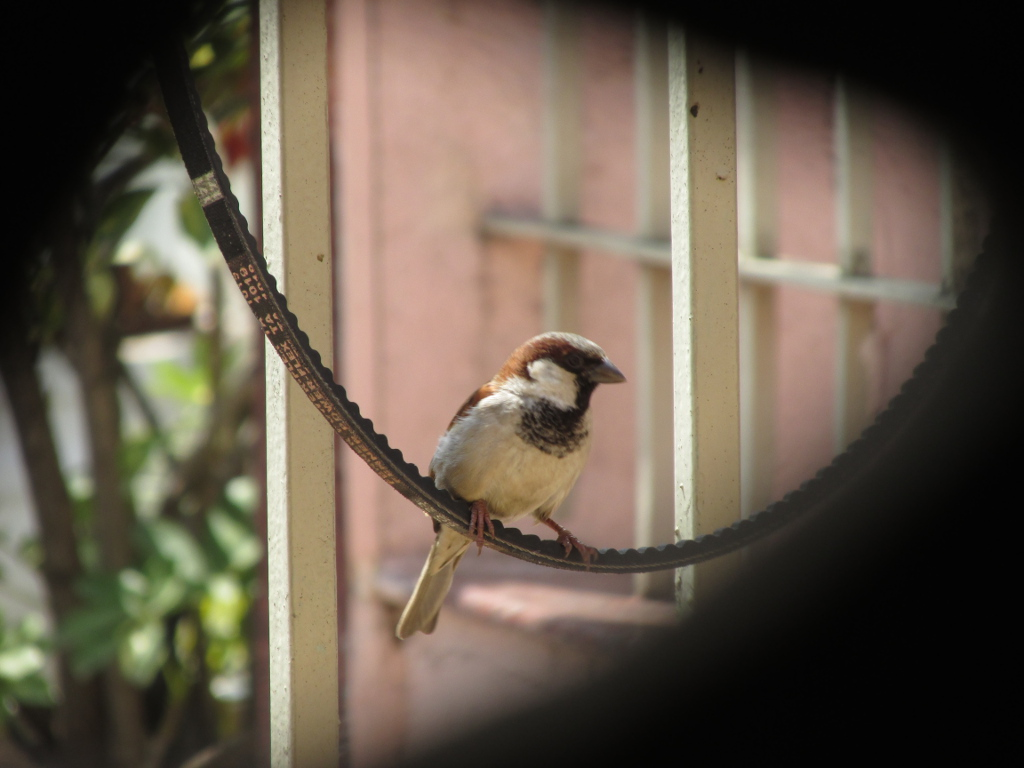 Sparrow by the church wall outside my ventilator.